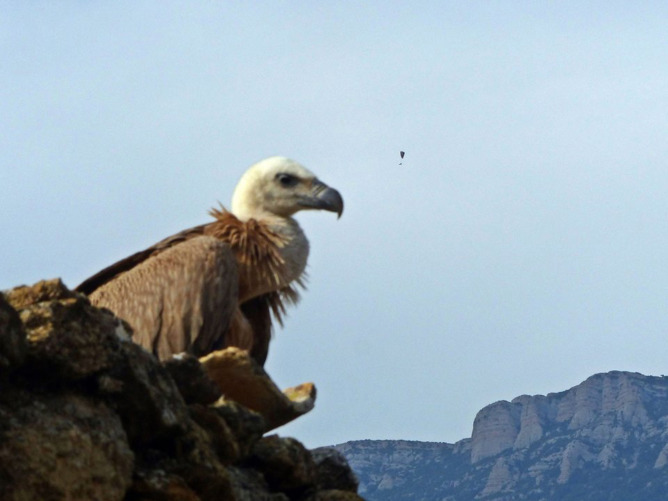 Vulture in Ager